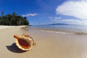 Fiji, Charonia tritonis, A Tritons trumpet shell on sandy beach beside ocean